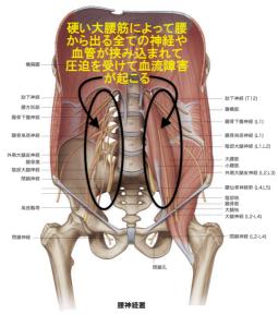 腰の神経が大腰筋を貫く様子